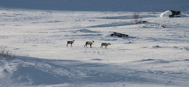 Reindeer_no