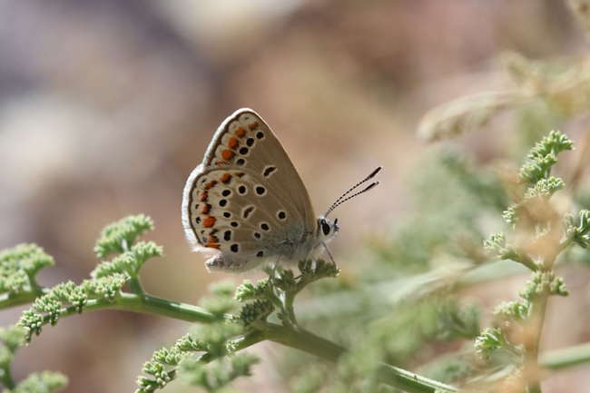Eastern Brown Argus